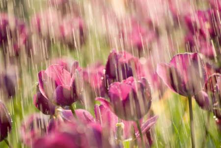 Rain on tulip of purple color in garden.