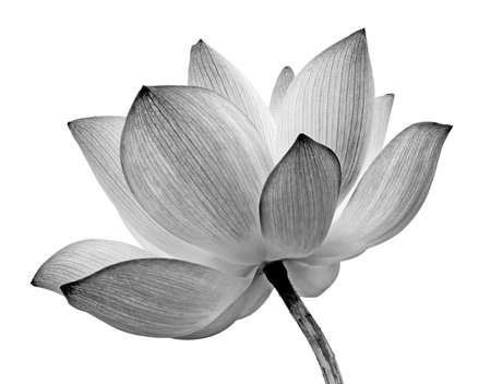 Foto de Lotus flower isolated on white background. - Imagen libre de derechos