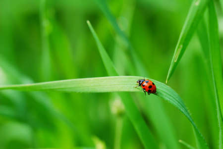 Red spotted Ladybird on green blade of grass (selective focus on ladybird back)