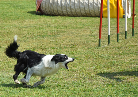 Photo for Dog agility contest - Royalty Free Image