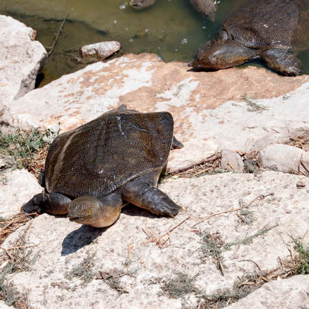 Photo for Wattle necked softshell turtle on the rocks - Royalty Free Image