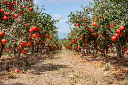 Photo pour Ripe pomegranate fruits on the branches of trees - image libre de droit