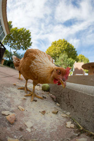 Photo pour Hen eating - image libre de droit