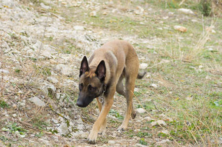 Photo pour Belgian shepherd - image libre de droit
