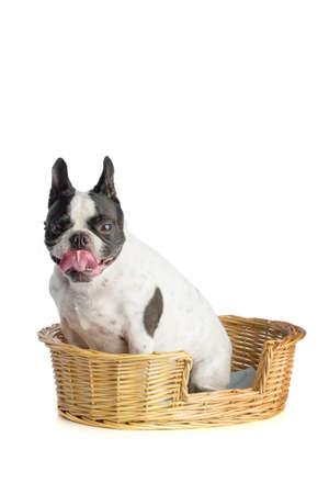 Photo pour French bulldog - image libre de droit