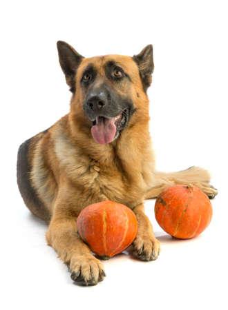 Photo pour German shepherd with pumpkin - image libre de droit