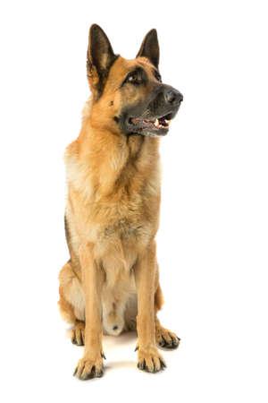 Photo pour German shepherd seated - image libre de droit