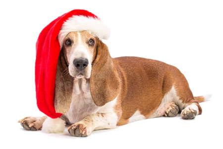 Photo pour Basset hound with Santa's hat - image libre de droit