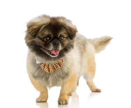 Photo pour Pekingese dog with bow tie - image libre de droit