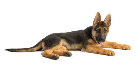 Photo pour Puppy German Shepherd - image libre de droit