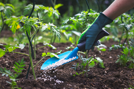 Photo for Farmer giving granulated fertilizer to young tomato plants. Hand in glove holding shovel and fertilize seedling in organic garden.  - Royalty Free Image