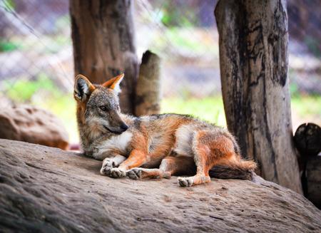 Photo for The golden jackal sleep dog and lying on the rock / Black backed jackal wildlife - Royalty Free Image