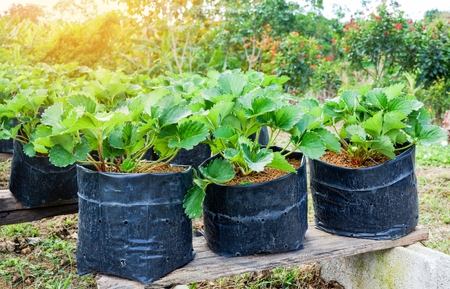 Photo pour Planting strawberry in pot in the garden farm agriculture - image libre de droit