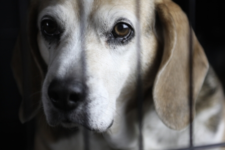 Photo for A beagle sitting behind a cage looking out - Royalty Free Image