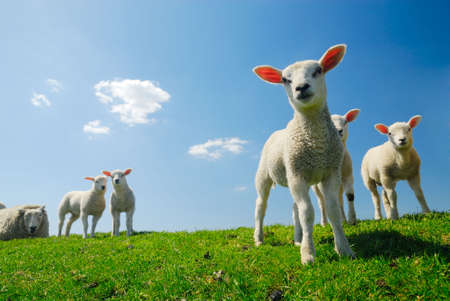 Photo pour curious lambs looking at the camera in spring - image libre de droit