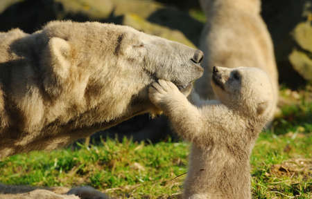 Photo pour close-up of a polar bear and her cute cub - image libre de droit