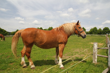 Foto de Draft horse show standing on the field - Imagen libre de derechos