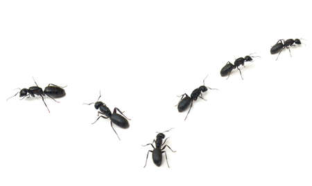 Trail of large black Carpenter Ants (Camponotus pennsylvanicus) isolated on white background