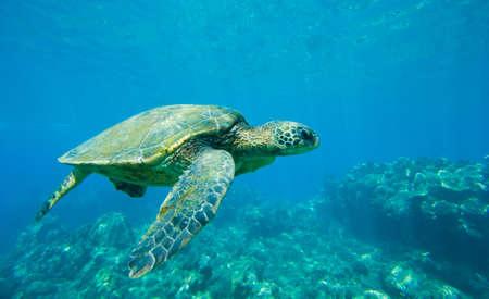Photo pour green sea turtle swimming in ocean sea - image libre de droit