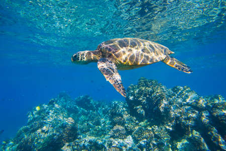 Photo for green sea turtle swimming in ocean sea - Royalty Free Image