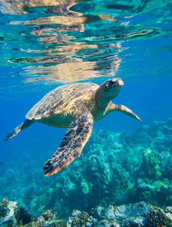 green sea turtle swimming in ocean sea