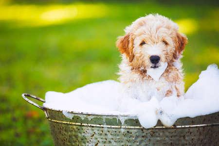 Foto de Adorable Cute Young Puppy Outside in the Yard Taking a Bath Covered in Soapy Bubbles - Imagen libre de derechos
