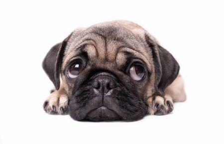 Foto de pug puppy dog isolated on white background - Imagen libre de derechos