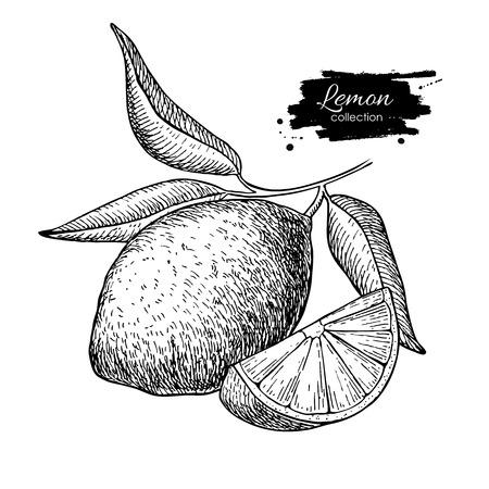 Ilustración de Vector hand drawn lemon or lime fruit with  leaves on branch. Tropical summer fruit engraved style illustration. Detailed citrus drawing. Great for water, juice, detox drink, natural cosmetics - Imagen libre de derechos