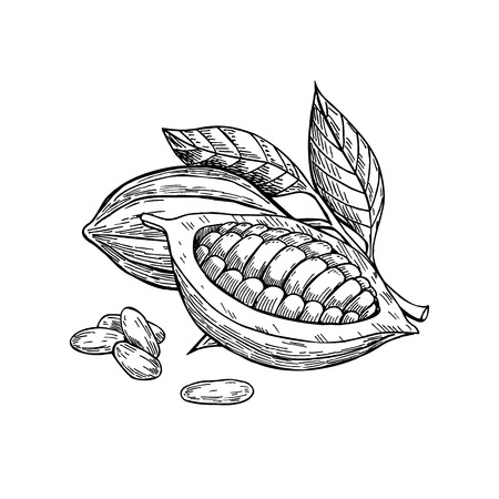 Ilustración de Cocoa vector superfood drawing set. Isolated hand drawn  illustration on white background. Organic healthy food. Great for banner, poster, label - Imagen libre de derechos