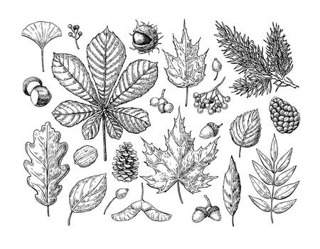 Illustration pour Autumn vector set with leaves, berries, fir cones, nuts, mushrooms and acorns. Detailed forest botanical elements for decoration. Vintage fall seasonal decor. Oak, maple, chestnut leaf drawing. - image libre de droit
