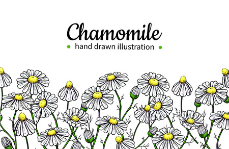 Illustration pour Chamomile vector drawing frame. Isolated daisy wild flower and leaves. Herbal artistic style illustration. - image libre de droit