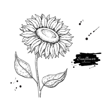 Illustration pour Sunflower flower vector drawing, Hand drawn illustration isolated on white background, Vintage style botanical sketch. - image libre de droit