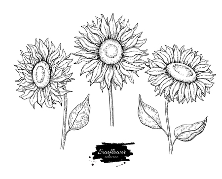 Illustration for Sunflower flower vector drawing set. Hand drawn illustration isolated on white background. - Royalty Free Image