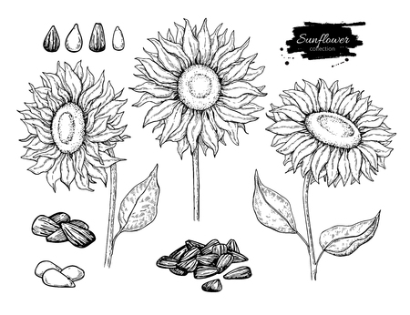 Illustration for Sunflower seed and flower vector drawing set. Hand drawn isolated illustration. Food ingredient vintage sketch.  Great for oil packaging design, label, banner, poster - Royalty Free Image