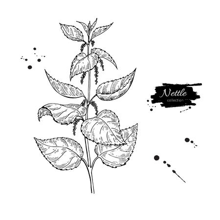 Illustration pour Nettle vector drawing. Isolated medical plant with leaves. Herbal engraved style illustration. Detailed - image libre de droit