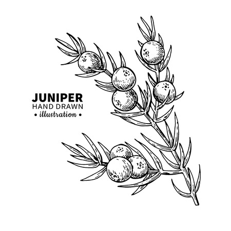 Illustration for Juniper vector drawing. Isolated vintage  illustration of berry on branch. Organic essential oil engraved style sketch. Beauty and spa, cosmetic ingredient. Great for label, poster, flyer, packaging design. - Royalty Free Image