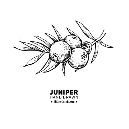 Ilustración de Juniper vector drawing. Isolated vintage  illustration of berry on branch. Organic essential oil engraved style sketch. Beauty and spa, cosmetic ingredient. Great for label, poster, flyer, packaging design. - Imagen libre de derechos