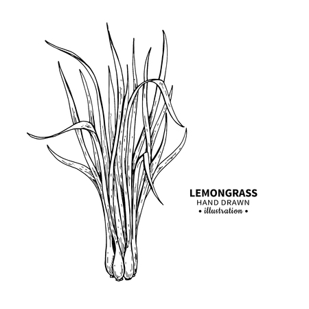 Ilustración de Lemongrass vector drawing. Isolated vintage  illustration of leaves. Organic essential oil engraved style sketch. Beauty and spa, cosmetic and tea ingredient. Great for label, poster, flyer, packaging design. - Imagen libre de derechos