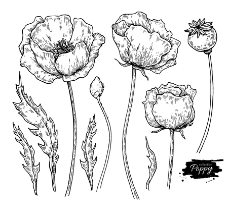 Illustration pour Poppy flower vector drawing set. Isolated wild plant and leaves. - image libre de droit
