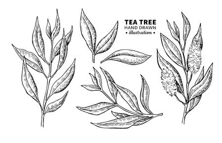 Illustration pour Tea tree illustration. - image libre de droit