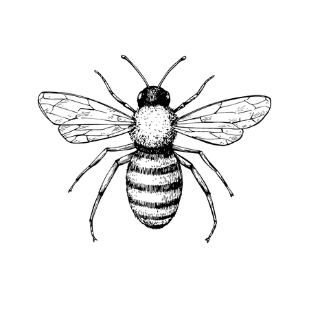 Ilustración de Honey bee vintage vector drawing. Hand drawn isolated insect ske - Imagen libre de derechos