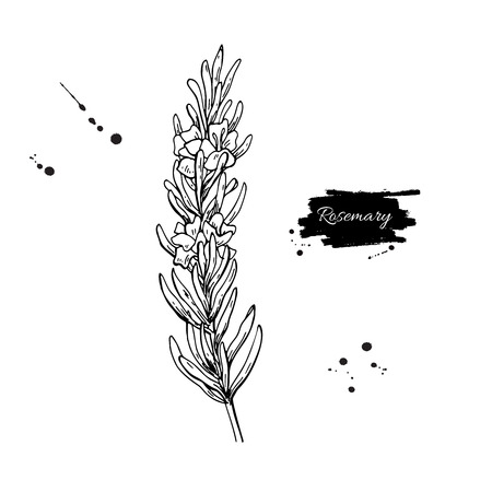 Illustration pour Rosemary vector drawing. Hand drawn blooming herb sketch. - image libre de droit