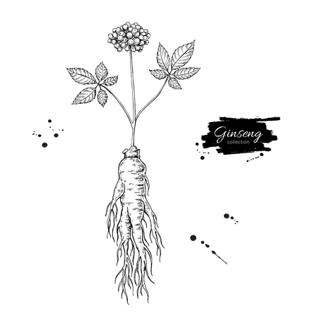 Illustration for Ginseng root and berry vector drawing. Medical plant sketch. - Royalty Free Image
