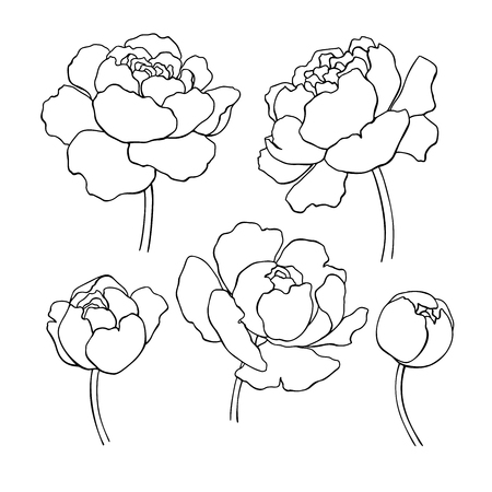 Illustration for Peony line drawing. Vector hand drawn outline flower set. - Royalty Free Image