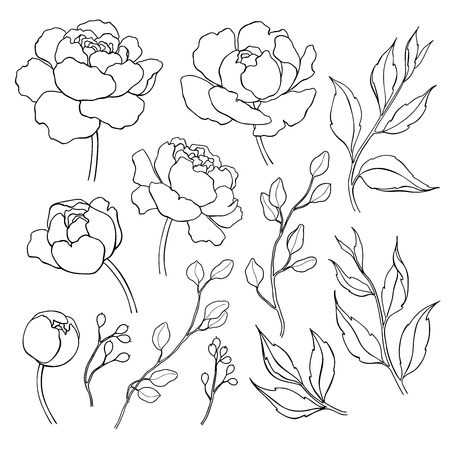 Ilustración de Peony flower and leaves line drawing. Vector hand drawn outline - Imagen libre de derechos