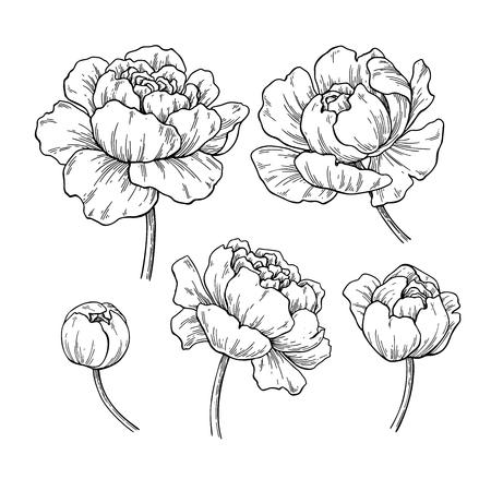 Illustration pour Peony botanical drawing. Vector hand drawn engraved flower set. - image libre de droit