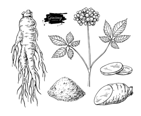 Illustration pour Ginseng vector drawing. Medical plant sketch. Engraved botanical - image libre de droit