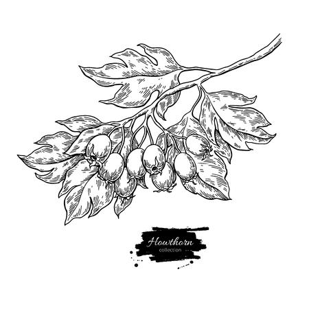 Ilustración de Hawthorn branch drawing. Vector plant sketch with berries - Imagen libre de derechos