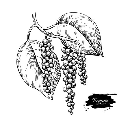 Illustration pour Black pepper plant branch vector drawing. Botanical illustration. Vintage hand drawn spice sketch. Herbal seasoning ingredient, culinary and cooking flavor. - image libre de droit