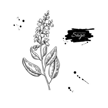 Ilustración de Sage vector drawing. Isolated plant with flower and leaves. - Imagen libre de derechos